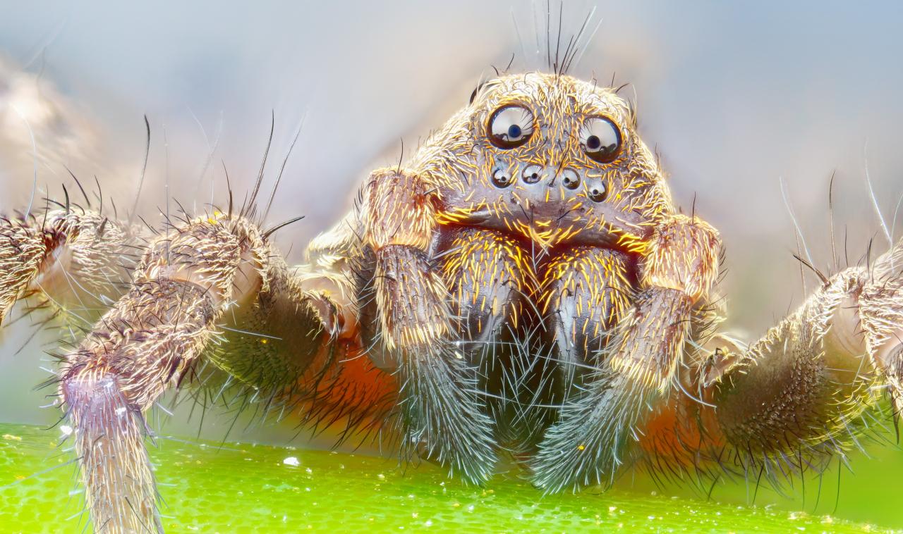 Ritratto di ragno a 4.5X