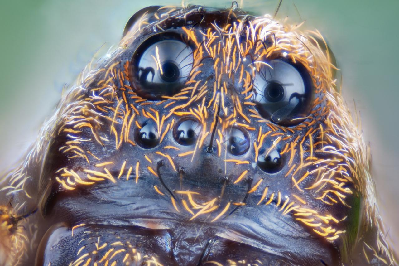 Ritratto di ragno a 10x