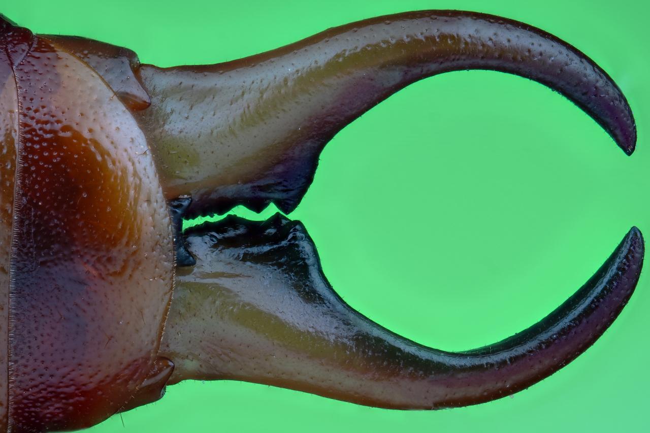 Forficula auricularia maschio (Linnaeus, 1758)
